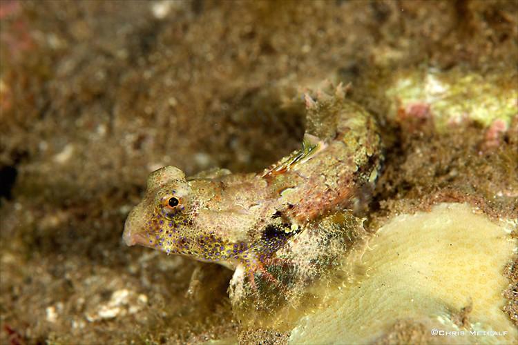 Morrison's dragonet, Synchiropus morrisoni, Lembeh Strait indonesia, April 2014