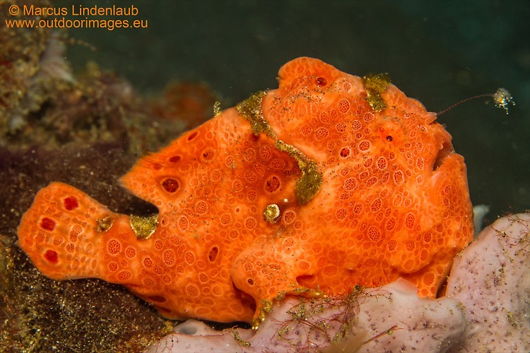 PAINTED FROGFISH (Antennarius pictus), Lembeh Strait, Indonesia, February 2013