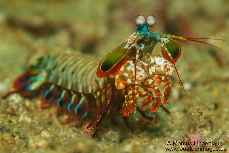 Peacock Mantis Shrimp (Odontodactylus scyllarus), Lembeh Strait, Indonesia, February 2013