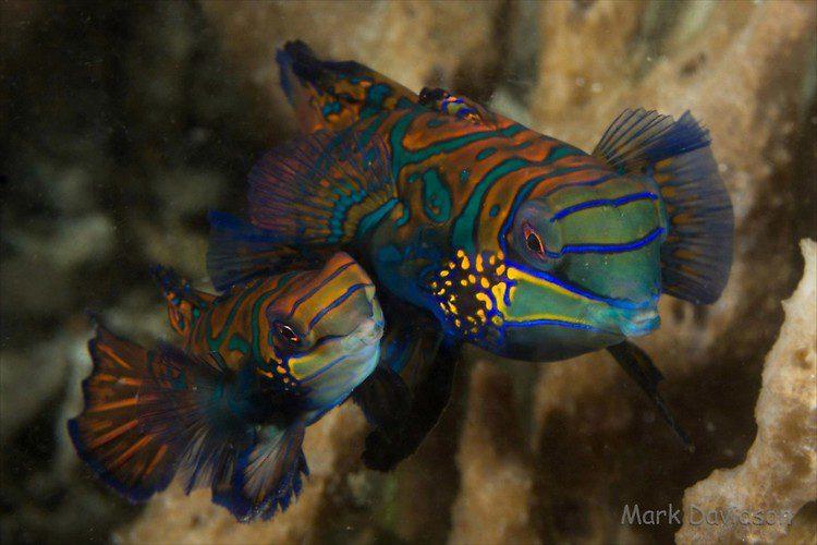 Mandarinfish, Synchiropus splendidus, Lembeh Strait Indonesia, April 2013