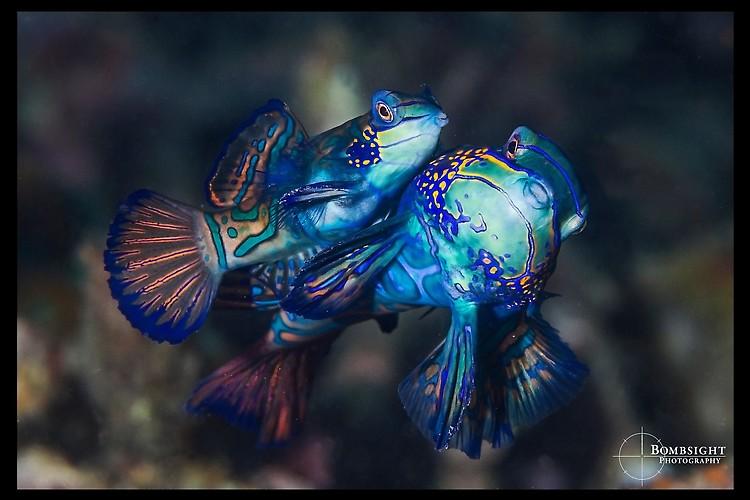 Mandarinfish (Synchiropus splendidus), Lembeh Strait, Indonesia, June 2013