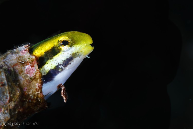 Shorthead Fangblenny, Petroscirtes breviceps, Lembeh Strait Indonesia 2014