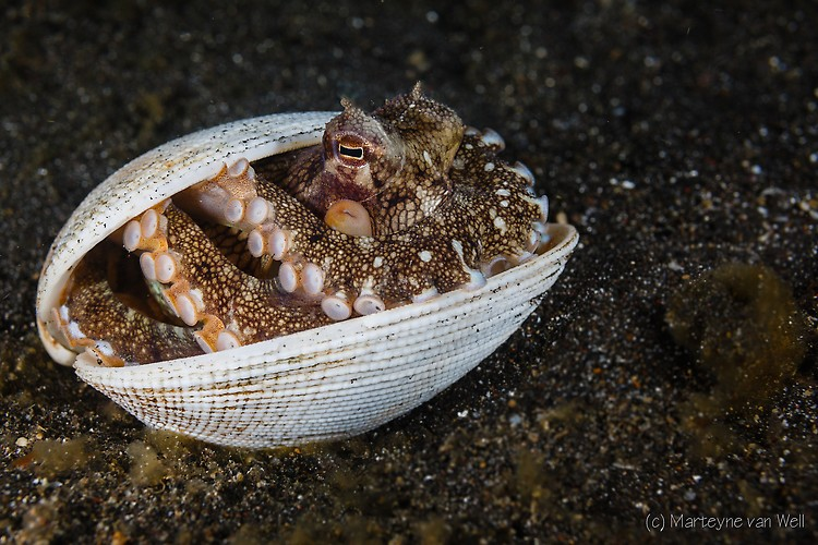 Coconut Octopus, Octopus marginatus, Lembeh Strait Indonesia 2014
