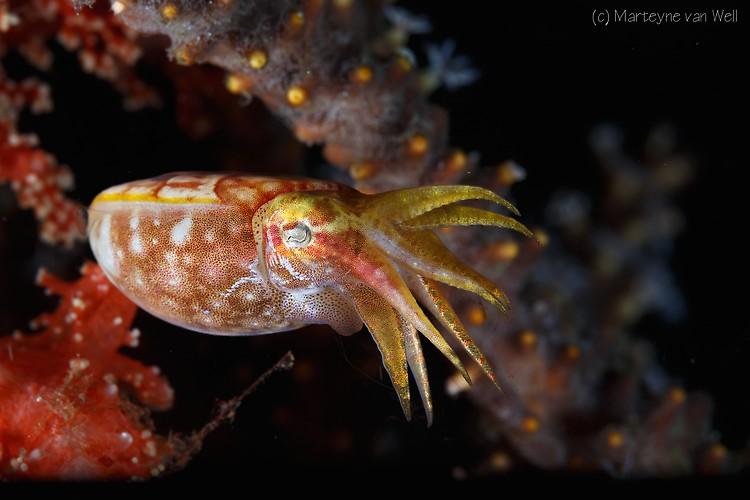 Pygmy Cuttlefish, Sepia bandensis, Lembeh Strait Indonesia 2014