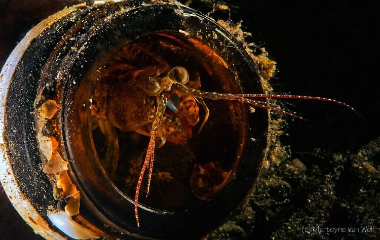 Mantis Shrimp, Lembeh Strait Indonesia 2014