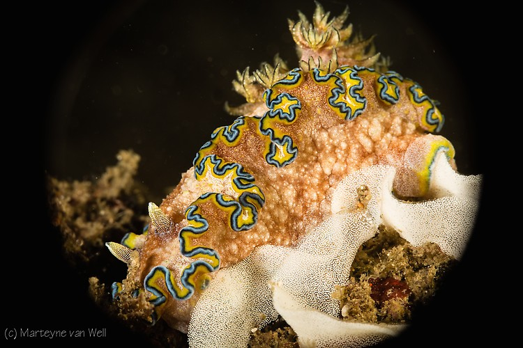 Glossodoris cincta, Lembeh Strait Indonesia 2014