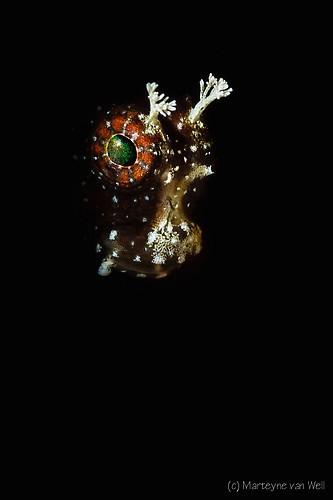 Starry Blenny, Salaris ramous, Lembeh Strait Indonesia 2014