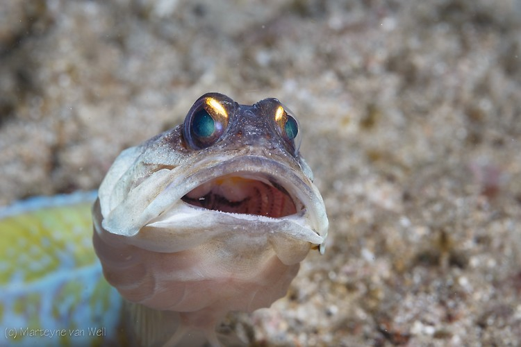 Yellow Barred Jawfish, Opistognathus sp.Lembeh Strait Indonesia 2014