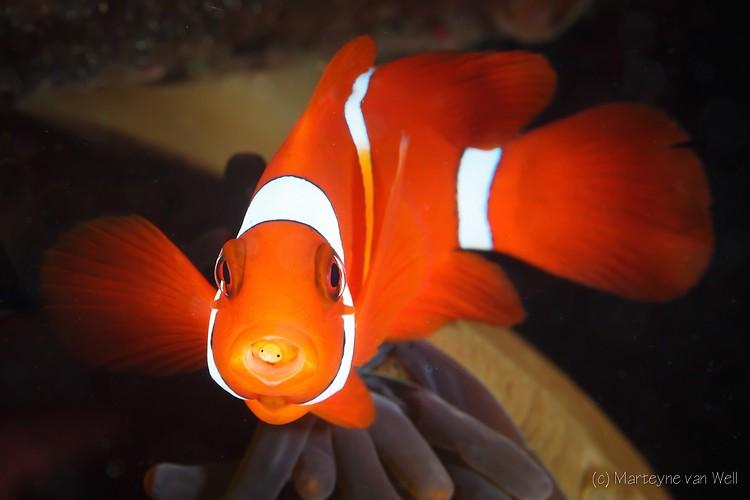 Spine Cheek Clownfish, Premnas biaculeatus, Lembeh Strait Indonesia 2014