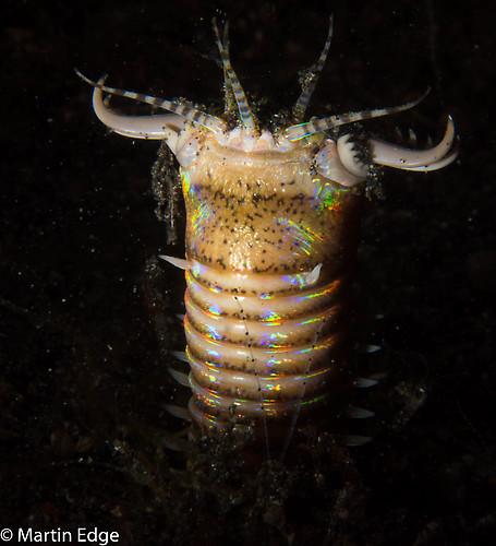 Bobbit Worm, (Eunice aphroditos), Lembeh Strait Indonesia, October, 2015