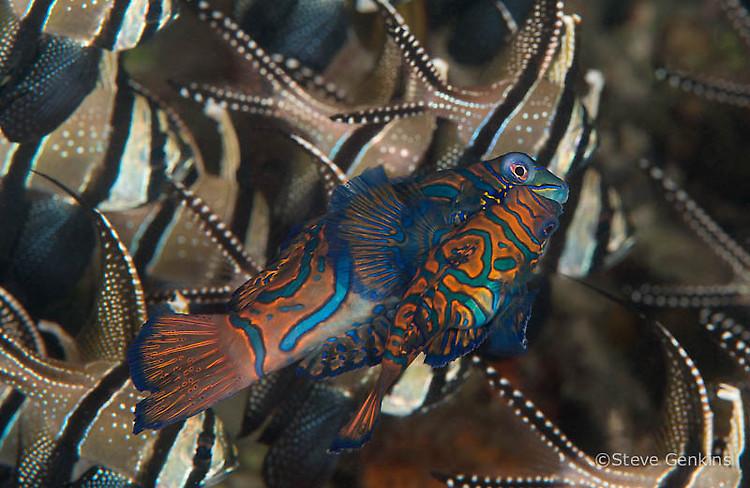 Mandarinfish, Synchiropus splendidus, Lembeh Strait Indonesia, March 2015