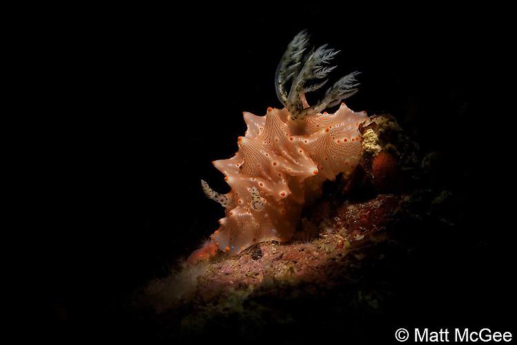 Halgerda batangas Nudibranch, Lembeh Strait, Indonesia, April 2013