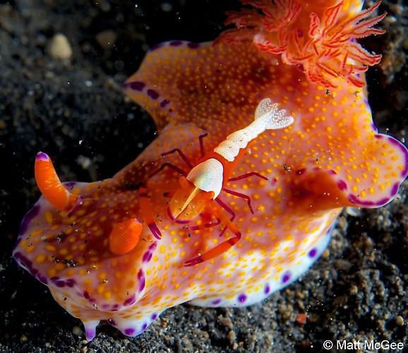 Ceratocoma teneu Nudibranch With Emperor Shrimp, Lembeh Strait, Indonesia, April 2013