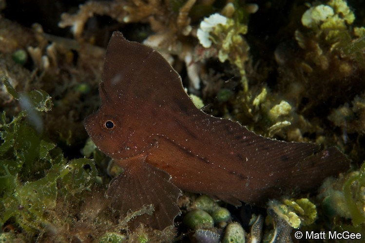 COCKATOO WASPFISH (Ablabys taenianotus), Lembeh Strait, Indonesia, April 2013