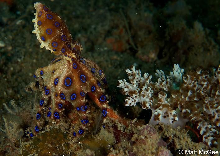 BLUE-RINGED OCTOPUS (Hapalochlaena sp.), Lembeh Strait, Indonesia, April 2013