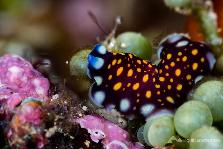 Leopard Flatworm, Pseudobiceros pardalis Lembeh Strait Indonesia August 2015