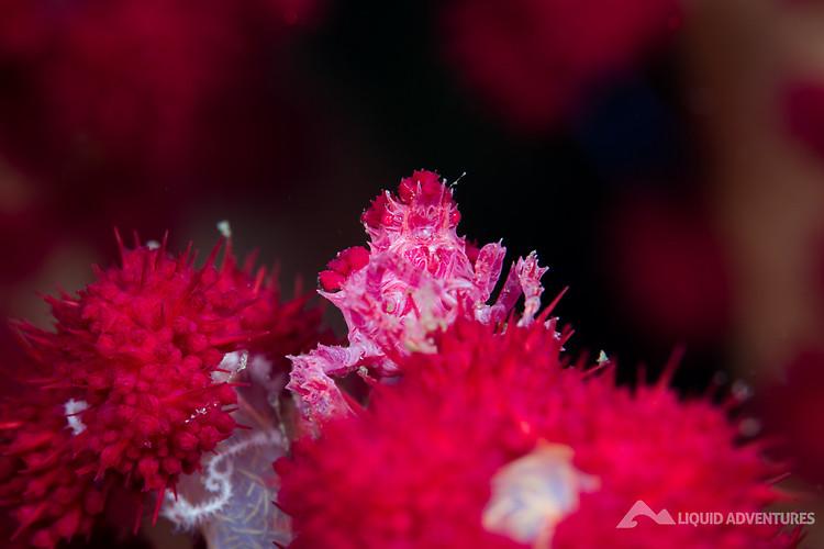 Candy crab, Hoplophrys oatesii Lembeh Strait Indonesia August 2015