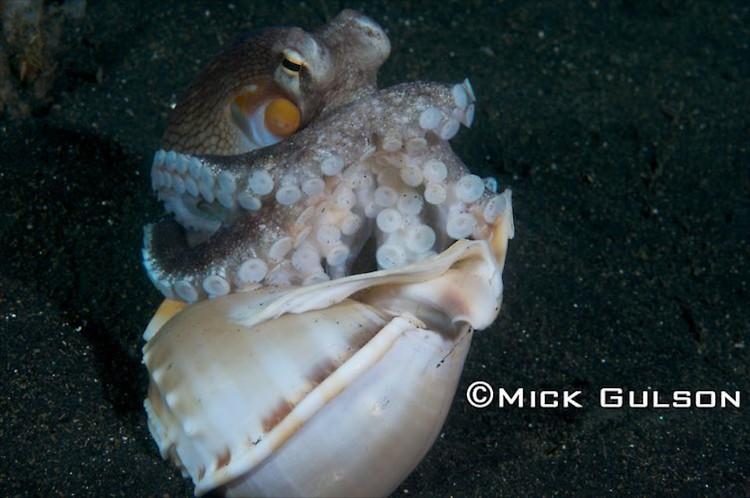 Coconut Octopus, (Octopus marginatus), Lembeh Strait Indonesia, October, 2015