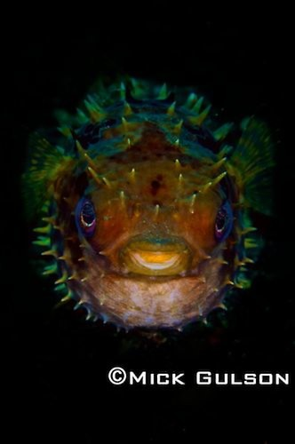 Rounded Porcupinefish, (cyclichthys), Lembeh Strait Indonesia, October, 2015