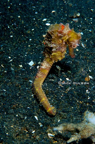 Wing-Spined seahorse, Hippocampus alatus Lembeh Strait Indonesia, July 2013