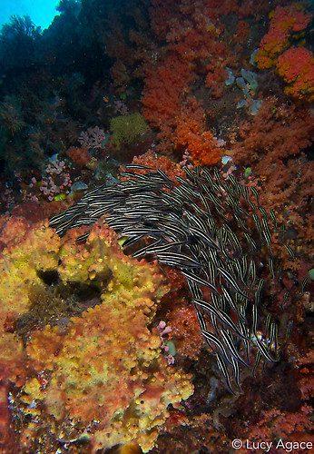 Schooling Striped catfish, Platydoras armatulus, Lembeh Strait Indonesia November 2014