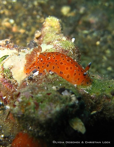Dendrodoris guttata, Lembeh Strait Indonesia April 2013
