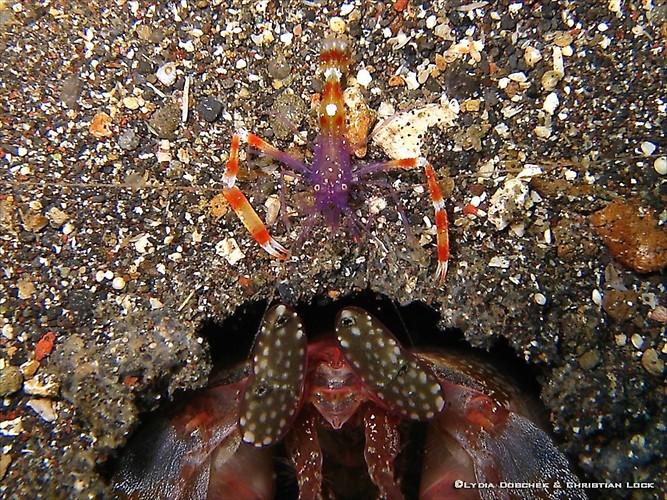 Violet Banded boxer Shrimp, Stenopus tenuirostris & Giant Mantis shrimp, Lysiosquillina lisa Lembeh Strait Indonesia 2013