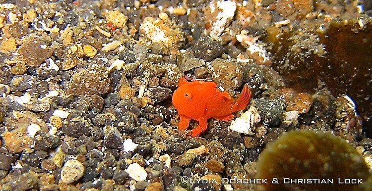Juvenile Painted frogfish, Antennarius pictus, Lembeh Strait Indonesia April 2013