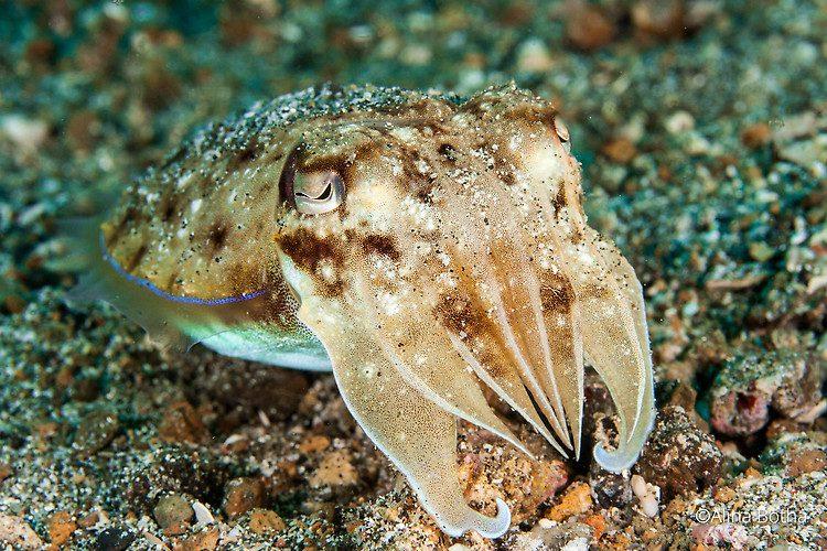 Needle Cuttlefish, Sepia aculeata, Lembeh Strait Indonesia July 2015