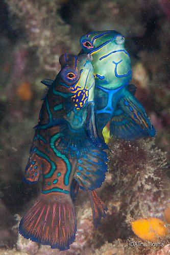 Mandarinfish, Synchiropus splendidus, Lembeh Strait Indonesia, July 2015