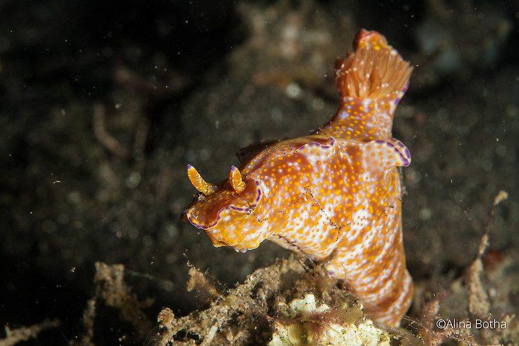 Ceratosoma tenue, Lembeh strait Indonesia, July 2015