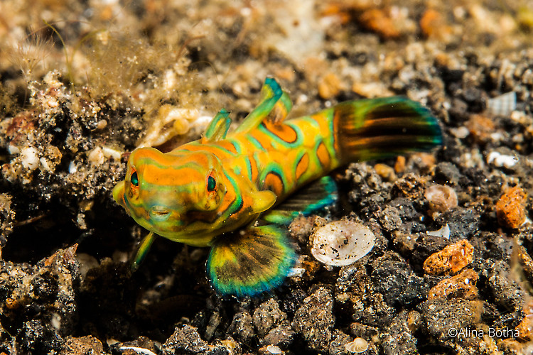 Picturesque dragonet, Synchiropus picturatus, Lembeh Strait Indonesia, July 2015