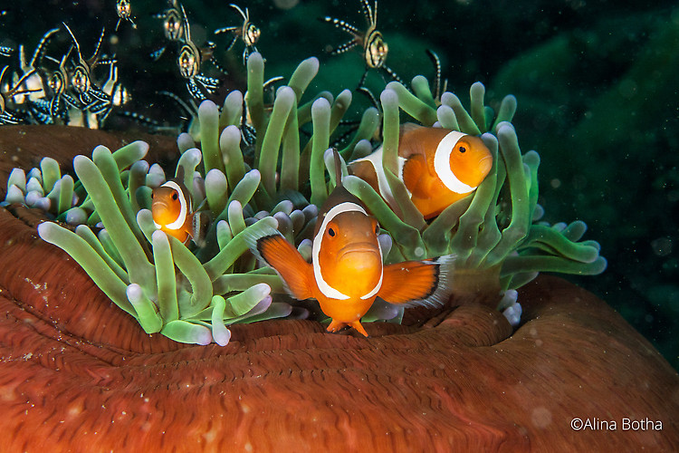 Western Clownfish, Amphiprion Ocellaris, Lembeh Strait Indonesia July 2015