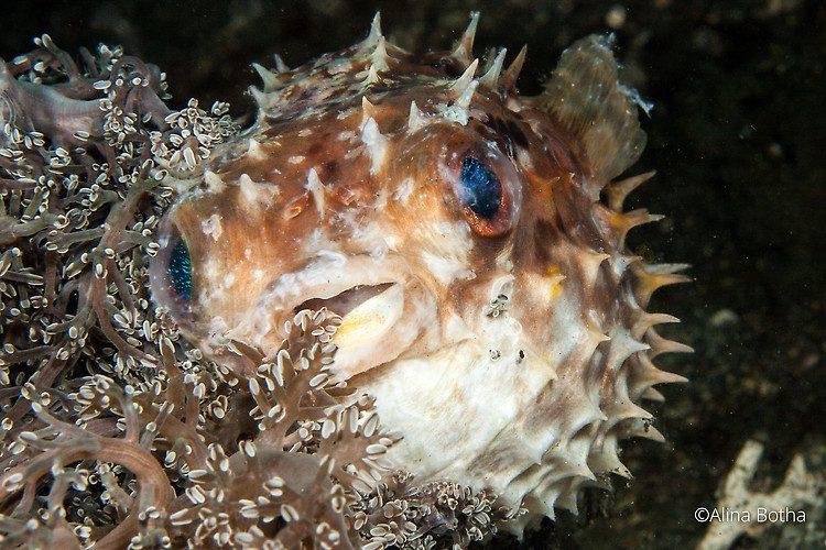 Orbicular Porcupinefish, Cyclichthys orbicularis, Lembeh Strait Indonesia July 2015