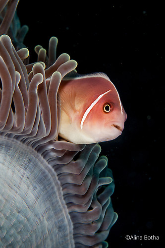 Pink Skunk Clownfish, Amphiprion perideraion, Lembeh Strait Indonesia 2015