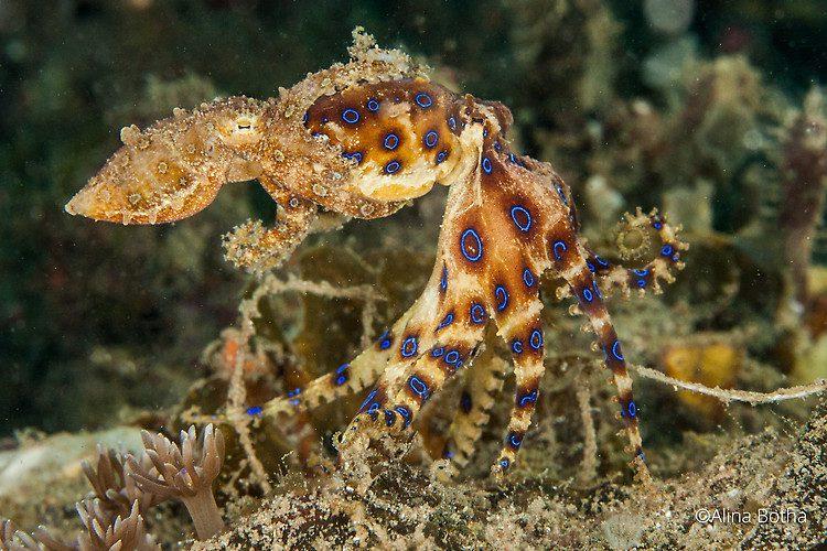 Blue-ringed Octopus, Hapalochlaena sp, Lembeh Strait Indonesia July 2015