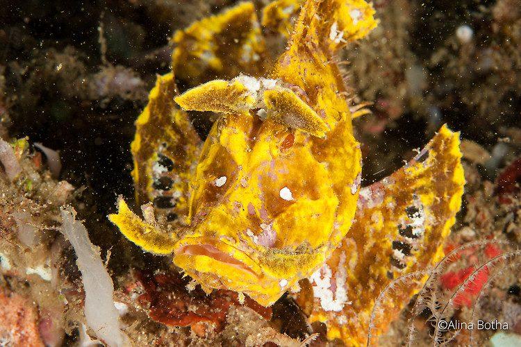 Yellow Weedy Scorpionfish, Rhinopias frondosa, Lembeh Strait Indonesia, July 2015
