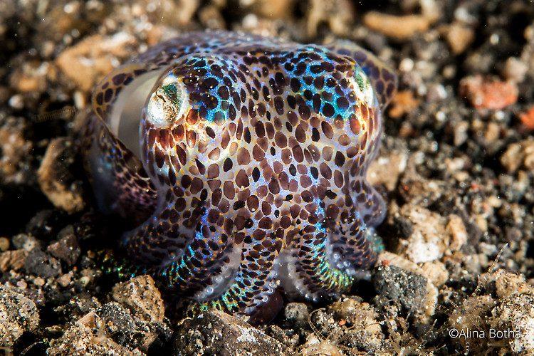Bobtail squid, Euprymna scollops, Lembeh Strait Indonesia July 2015