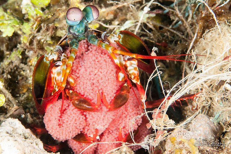 Peacock Mantis Shrimp (Odontodactylus scyllarus) Lembeh Strait Indonesia July 2015
