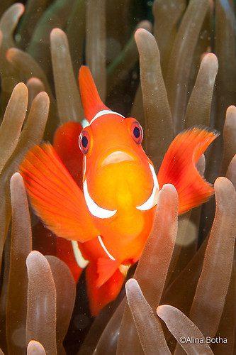Spinecheek anemone fish, Premnas biaculeatus, Lembeh Strait Indonesia July 2015
