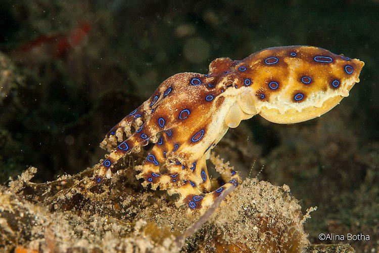 Blue-ringed octopus ,Hapalochlaena sp. Lembeh Strait Indonesia, July 2015