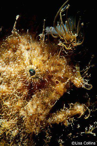 Hairy frogfish, Antennarius striatus, Lembeh Strait Indonesia, June 2014