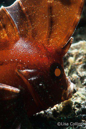Ablabys taenianotus, Cockatoo waspfish, Lembeh Strait Indonesia June 2014