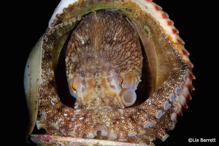 Coconut Octopus, Amphioctopus marginatus, Lembeh Strait Indonesia April 2014