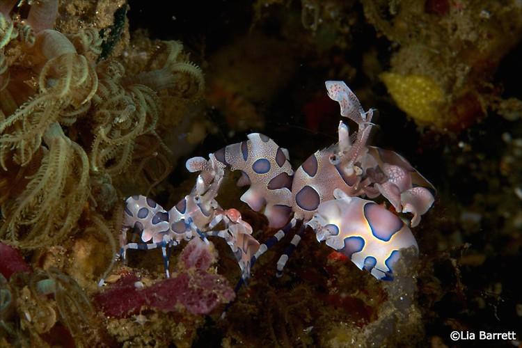 Harlequin-Shrimp (Hymenocera elegans) Lembeh Strait Indonesia April 2014
