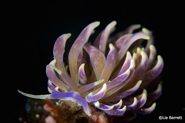 Phyllodesmium magnum, Lembeh Strait Indonesia April 2014