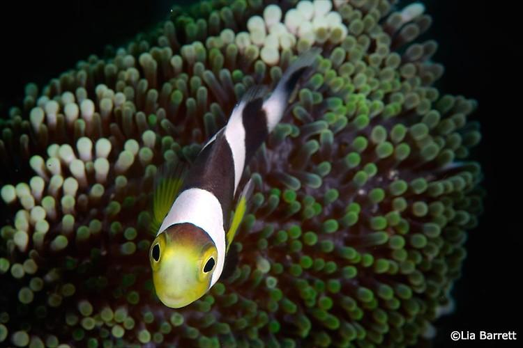 Saddleback Clownfish, Amphiprion polymnus, Lembeh Strait Indonesia, April 2014