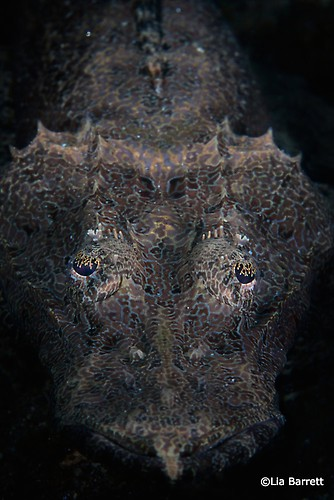Black Crocodilefish, Cymbacephalus beauforti, Lembeh Strait Indonesia, April 2014