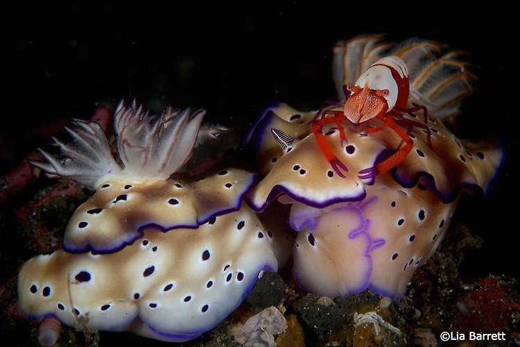 Emperor shrimp on Hypselodoris tryoni Lembeh Strait Indonesia April 2014