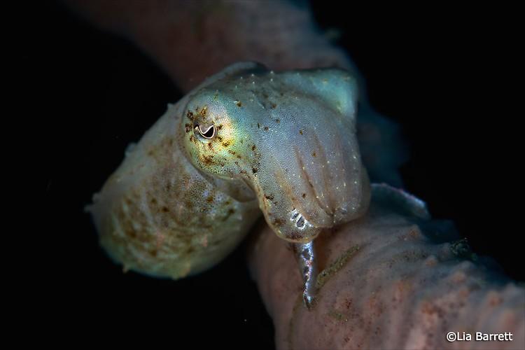 Broadclub cuttlefish, Sepia latimanus, Lembeh Strait Indonesia April 2014
